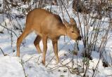 В Куйбышевском районе два браконьера незаконно добыли одну особь сибирской косули